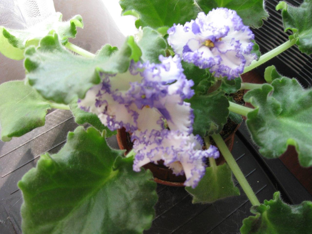 Які квіти прикрашають Ваші ґанки, підвіконня, балкони? -HqQn43GzrY