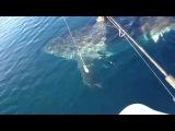 Great White Shark nearly attacks boat in HD video near beach ホオジロザメ