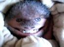 Смешной папа-обезьян.funny dad