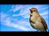 Незабываемое Пение соловья Chill out Nightingale Singing