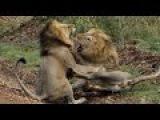 Katil Kediler - Türkçe Dublaj Belgesel izle