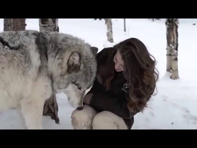 The heartwarming moment Kekoa the giant timber wolf plays with a wildlife worker