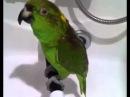 Поющий попугай РУ