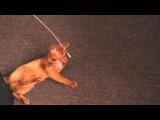 Playful Abyssinian cat / Любимая игрушка аби с Aliexpress