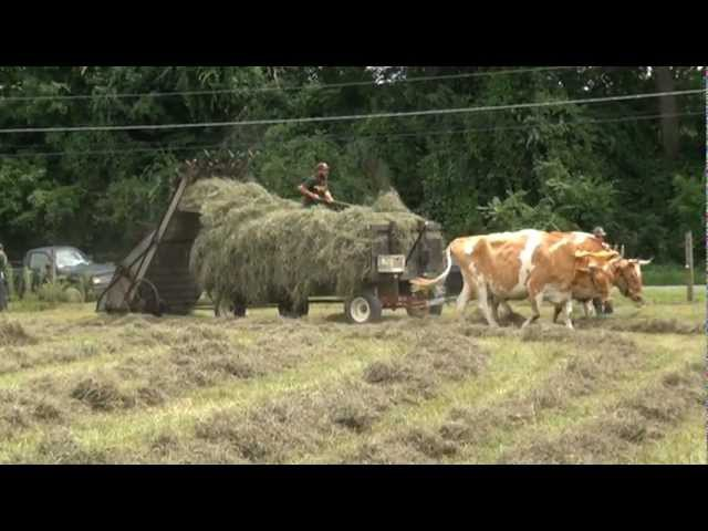 Loading loose hay with oxen