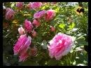 Розы в Саду. серия 15. Любимые розы