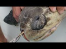 Removing a plastic straw from a sea turtle's nostril Short Version