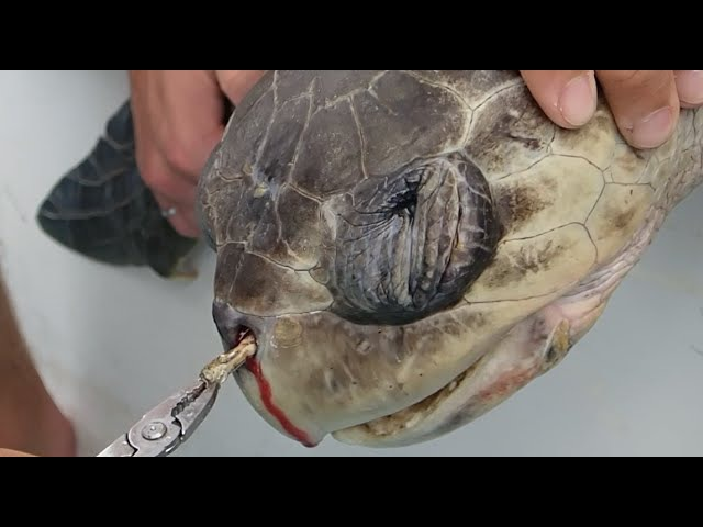 Removing a plastic straw from a sea turtle's nostril