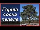 Українські народні пісні. Горіла сосна палала