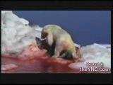 Белый медведь убивает моржа