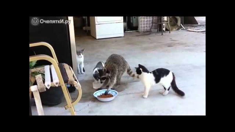 Енот ворует еду у кошек ЮМОР ФМ