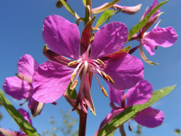 Цветок кипрея узколистного
