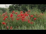 Красные маки, горькая память земли...