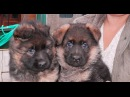 Super puppies German Shepherd!. Супер Щенки Немецкой Овчарки. Одесса.