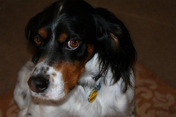 В следующий раз, когда ваша собака набедокурит и поднимет на вас свои большие виноватые глаза, знайте: это не что иное как гнусная уловка.