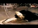 Ягуар убивает в воде анаконду