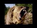 Лев, Тигр или Медведь. Кто сильнее? Tiger or a bear?