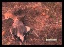 Смелый горностай