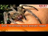 ШОК: гигантские пауки атакуют людей