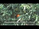 Cемена Китано. Выращивание томата KS 898 F1