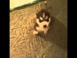 Husky says fuck!