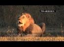 Красота, величественность, сила | Lion roaring
