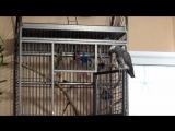 Мой самый болтливый,умный,наглый попугай Гришка