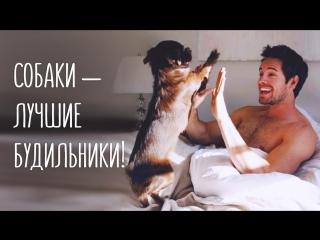 Собаки – вот лучшие будильники!