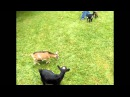 Buttermilk Crazy Jumping Goat Goes Wild, HD