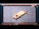 Профессор Канаверо демонстрирует крысу с переподключенным спинным мозгом