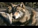 Молодая волчица .Film Ron Untergendler