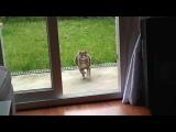 Кот на бегу бьётся лицом и головой об дверь / Faceplant Cat (Original)