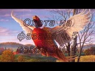 Охота на фазана с легавыми(дратхаарами) на Юге России. Сезон 2014г. Часть 5.