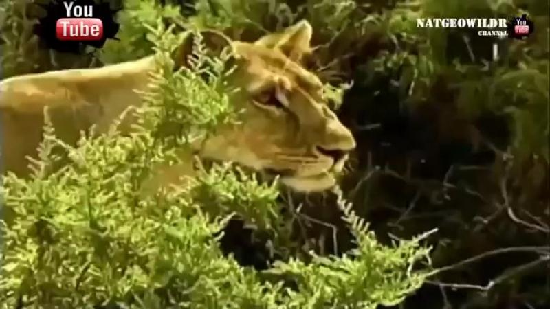 Сердце львицы. Львица приютила дитя антилопы Любовь победила голод Уникальные кадры