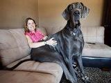 Самая большая собака в мире. Дог по кличке Джордж самый большой пёс в мире.