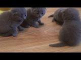 Шотландские котята.Вислоухие котята.Скоттиш фолд и скоттиш страйт.Продажа г Мариуполь