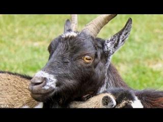 ЗАДИРИСТЫЙ КОЗЕЛ нападает на яка. Ну козёл даёт !!! СМЕШНЫЕ ЖИВОТНЫЕ ПРИКОЛЫ