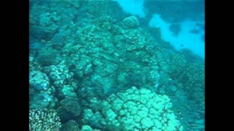 MVI 23 Каменный окунь = Красноморский коралловый групер= Plectropomus pessuliferus red Sea cora