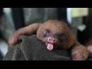 Маленький ленивец зевает ^__^