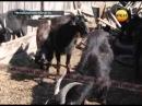 в Челябинской области зоофил всю зиму насиловал коз
