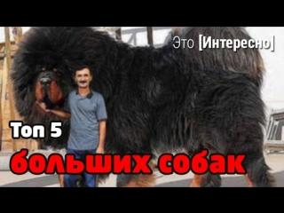 Это интересно 192: Топ 5 самых больших собак в мире. Интересные факты о собаках