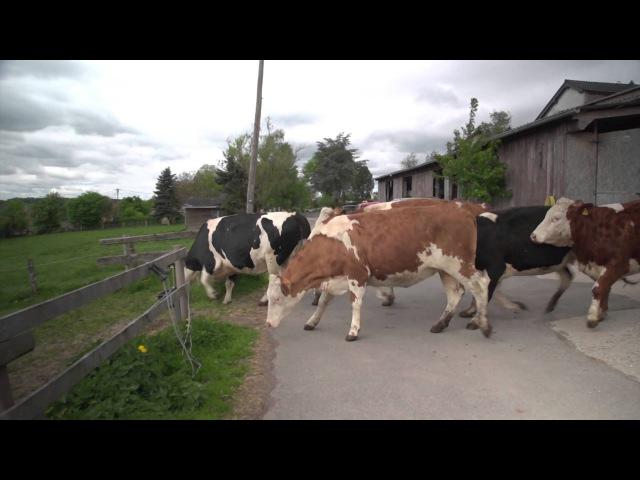 Happy Cows Kuhrettung Rhein Berg english subtitles vacas liberadas