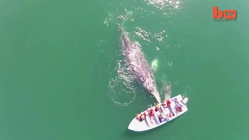 Самка серого кита и её детёныш