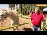 #AzattyqTV: За кулисами конных скачек