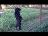 Медведь Прогуливается Вдоль Забора