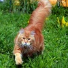 Фермерский Кот-питомник мейн-кунов Hillbilly Cat