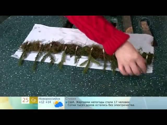 Укоренение хвойных черенками (ель,сосна)