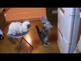 Cat Wants the Fridge Open - Funny! - Кот Просит Открыть Холодильник- Прикол!