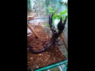 Дарвиновский музей, скорпион