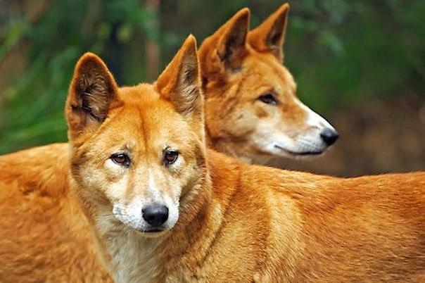 Собака динго очень преданная, она будет служить хозяину до конца дней, а если у...